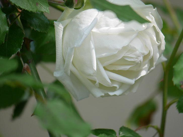 新雪(Shinsetsu)の花が咲いた。ツルバラ。2021年-013.jpg