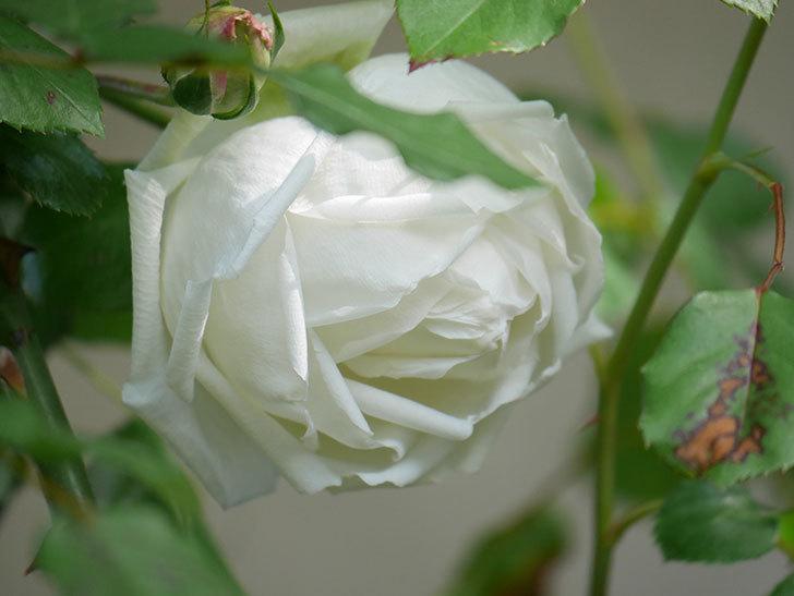 新雪(Shinsetsu)の花が咲いた。ツルバラ。2021年-014.jpg
