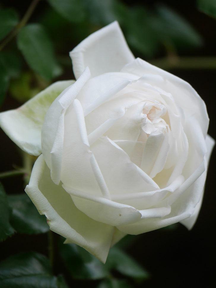 新雪(Shinsetsu)の花が咲いた。ツルバラ。2021年-016.jpg