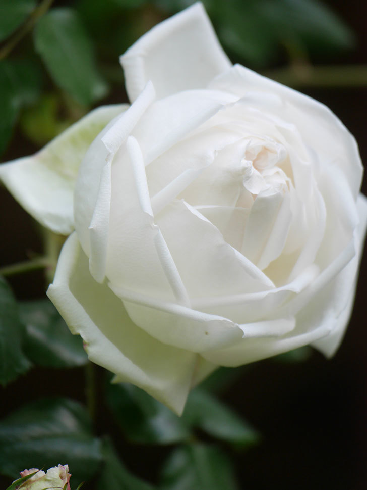 新雪(Shinsetsu)の花が咲いた。ツルバラ。2021年-017.jpg
