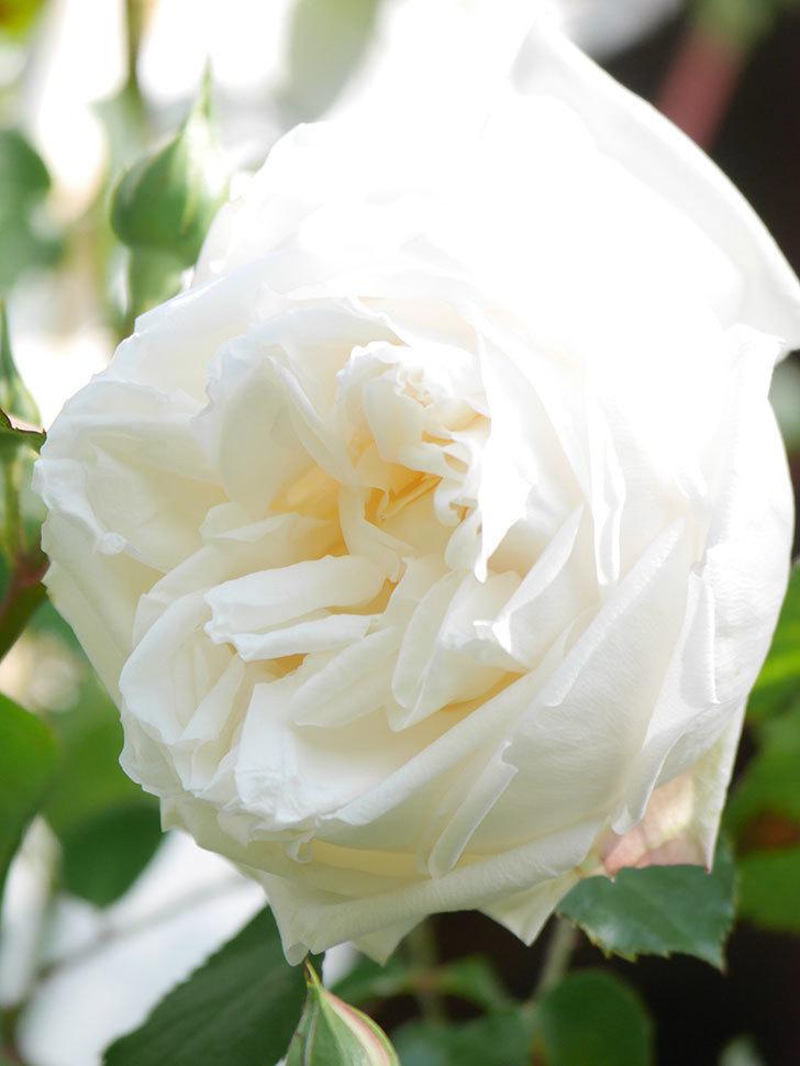 新雪(Shinsetsu)の花が咲いた。ツルバラ。2021年-018.jpg