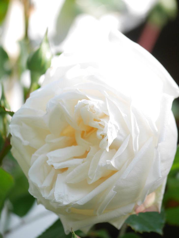 新雪(Shinsetsu)の花が咲いた。ツルバラ。2021年-019.jpg