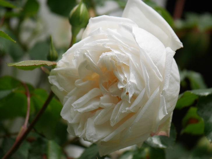 新雪(Shinsetsu)の花が咲いた。ツルバラ。2021年-020.jpg