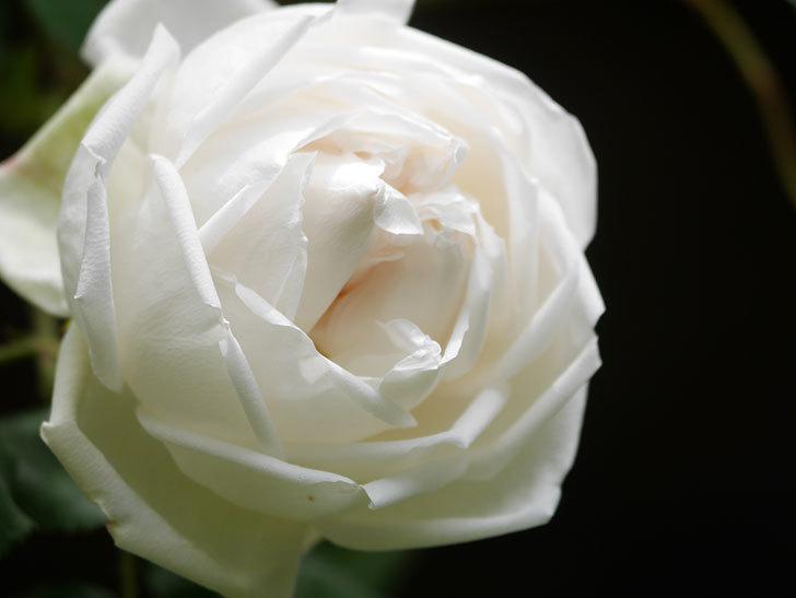 新雪(Shinsetsu)の花が咲いた。ツルバラ。2021年-022.jpg