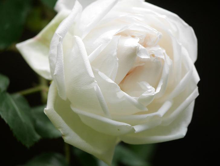 新雪(Shinsetsu)の花が咲いた。ツルバラ。2021年-023.jpg