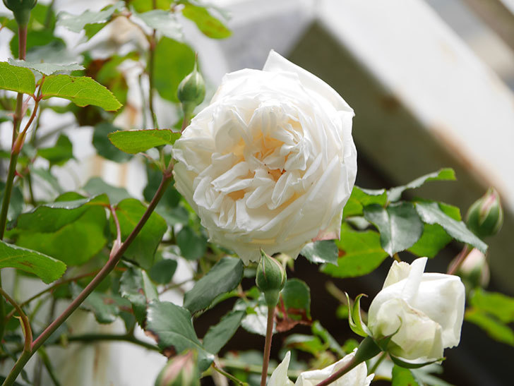 新雪(Shinsetsu)の花が咲いた。ツルバラ。2021年-024.jpg