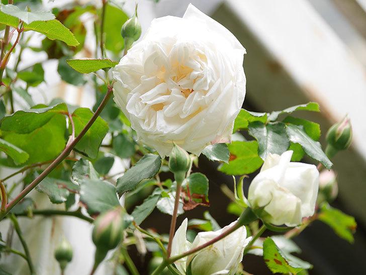 新雪(Shinsetsu)の花が咲いた。ツルバラ。2021年-025.jpg