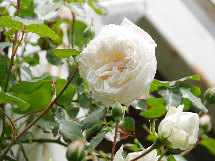 新雪(Shinsetsu)の花が咲いた。ツルバラ。2021年-026.jpg