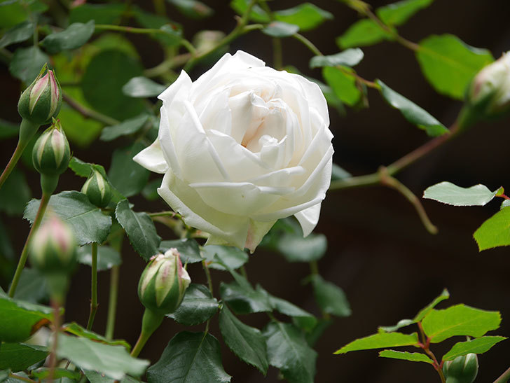 新雪(Shinsetsu)の花が咲いた。ツルバラ。2021年-027.jpg