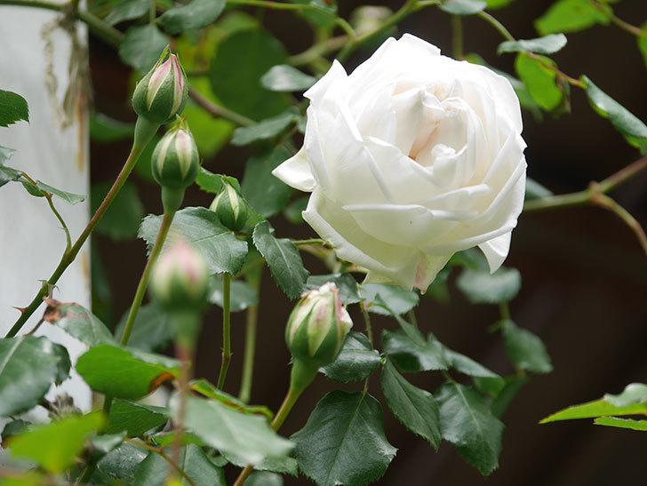 新雪(Shinsetsu)の花が咲いた。ツルバラ。2021年-028.jpg