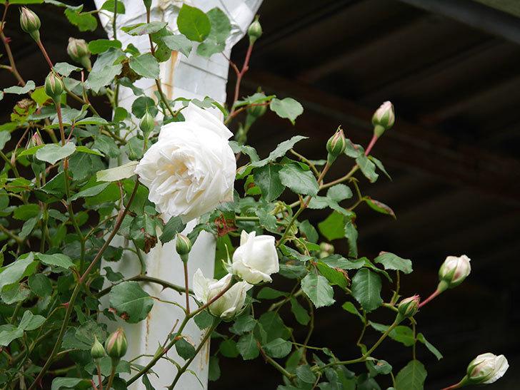 新雪(Shinsetsu)の花が咲いた。ツルバラ。2021年-029.jpg