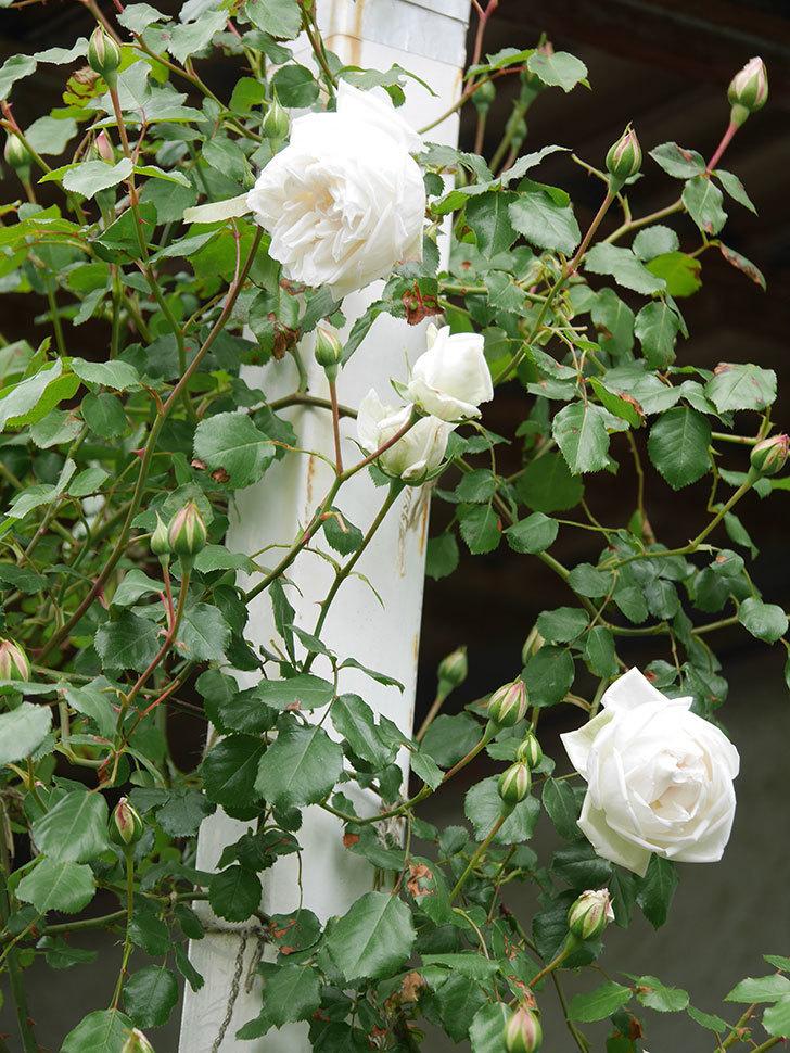 新雪(Shinsetsu)の花が咲いた。ツルバラ。2021年-030.jpg