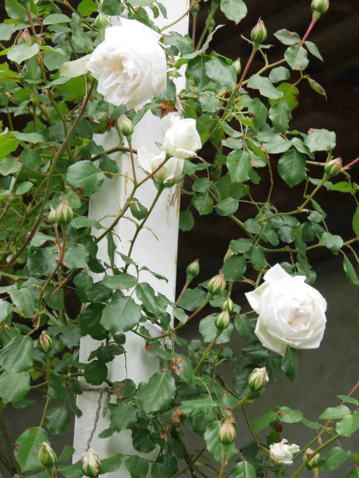 新雪(Shinsetsu)の花が咲いた。ツルバラ。2021年-031.jpg