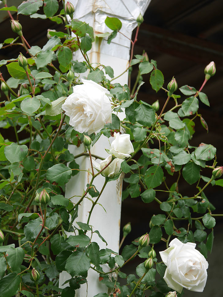 新雪(Shinsetsu)の花が咲いた。ツルバラ。2021年-032.jpg