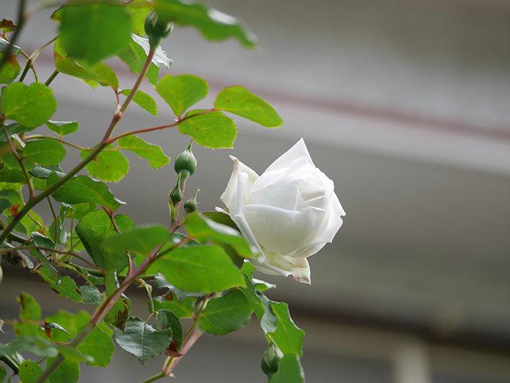 新雪(Shinsetsu)の花が咲いた。ツルバラ。2021年-033.jpg