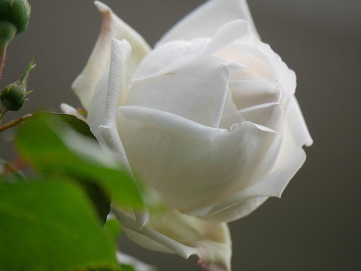 新雪(Shinsetsu)の花が咲いた。ツルバラ。2021年-034.jpg