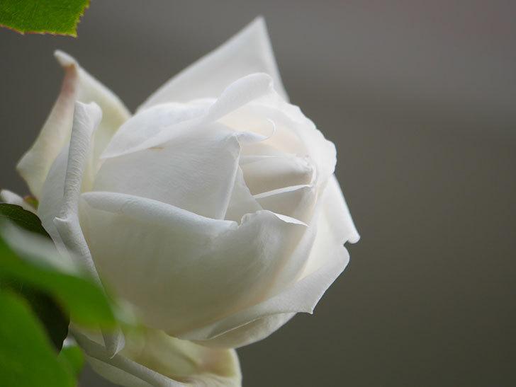 新雪(Shinsetsu)の花が咲いた。ツルバラ。2021年-035.jpg