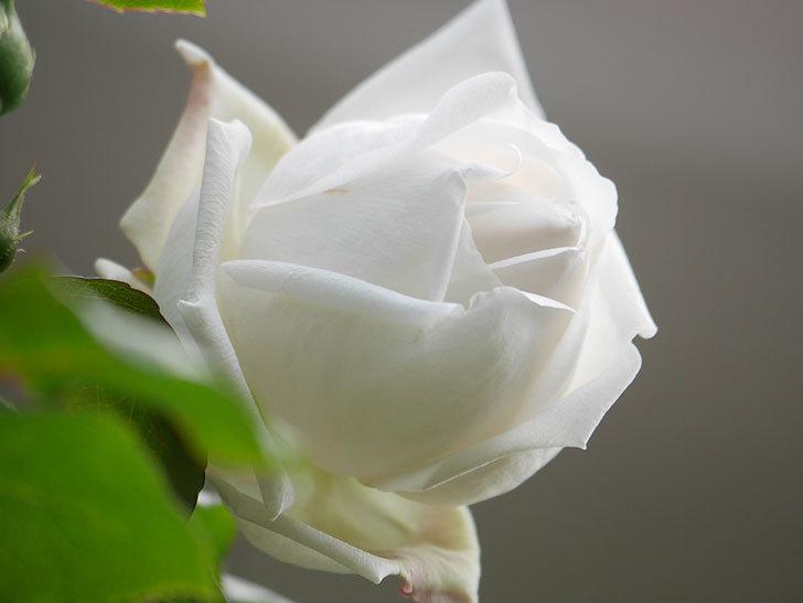 新雪(Shinsetsu)の花が咲いた。ツルバラ。2021年-036.jpg