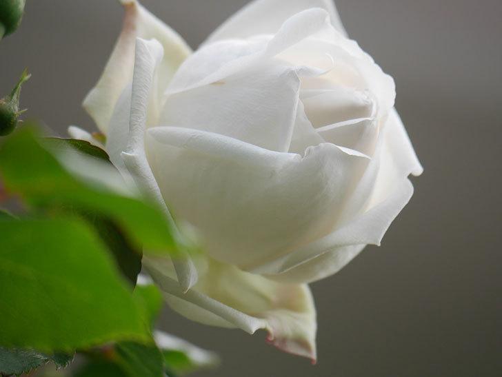 新雪(Shinsetsu)の花が咲いた。ツルバラ。2021年-037.jpg
