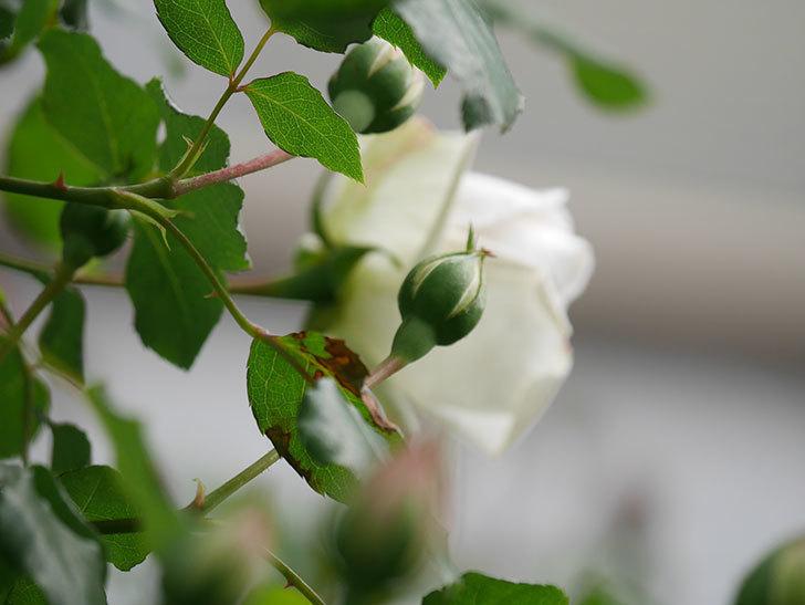 新雪(Shinsetsu)の花が咲いた。ツルバラ。2021年-038.jpg