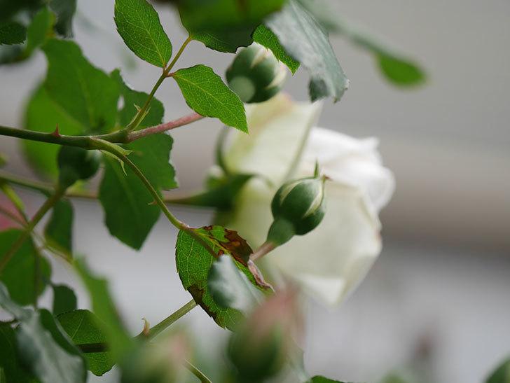 新雪(Shinsetsu)の花が咲いた。ツルバラ。2021年-039.jpg