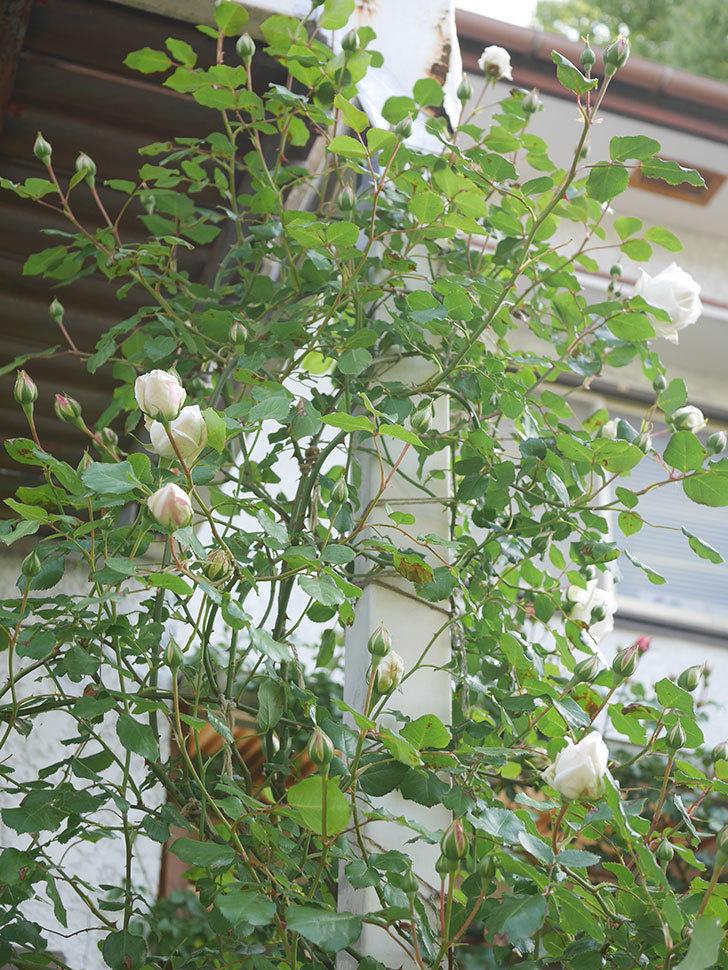 新雪(Shinsetsu)の花が咲いた。ツルバラ。2021年-040.jpg