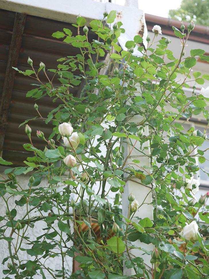 新雪(Shinsetsu)の花が咲いた。ツルバラ。2021年-041.jpg