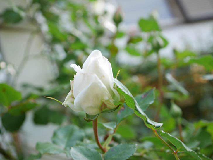 新雪(Shinsetsu)の花が咲いた。ツルバラ。2021年-042.jpg