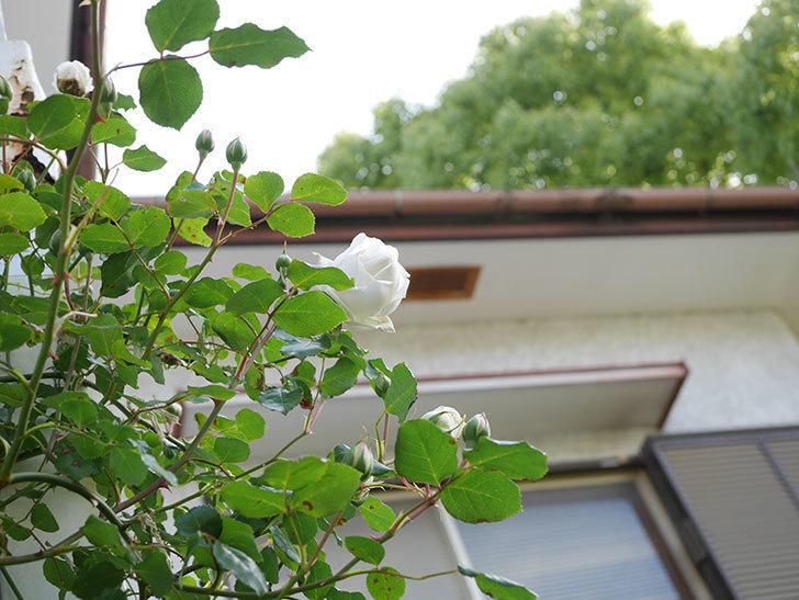 新雪(Shinsetsu)の花が咲いた。ツルバラ。2021年-043.jpg
