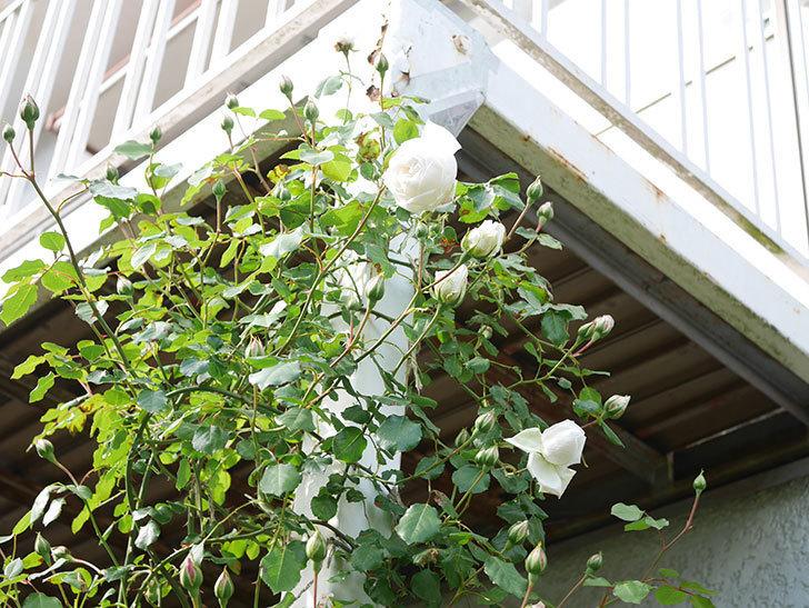新雪(Shinsetsu)の花が咲いた。ツルバラ。2021年-044.jpg