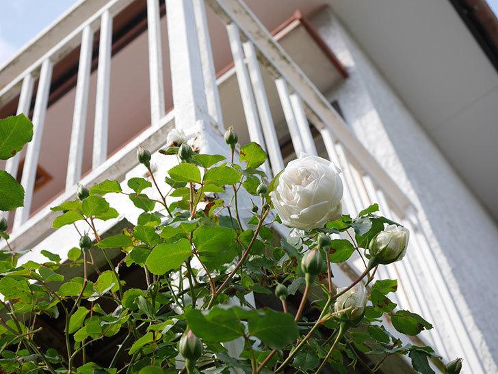 新雪(Shinsetsu)の花が咲いた。ツルバラ。2021年-045.jpg