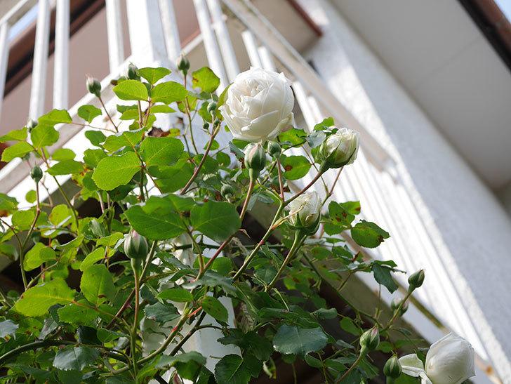新雪(Shinsetsu)の花が咲いた。ツルバラ。2021年-046.jpg