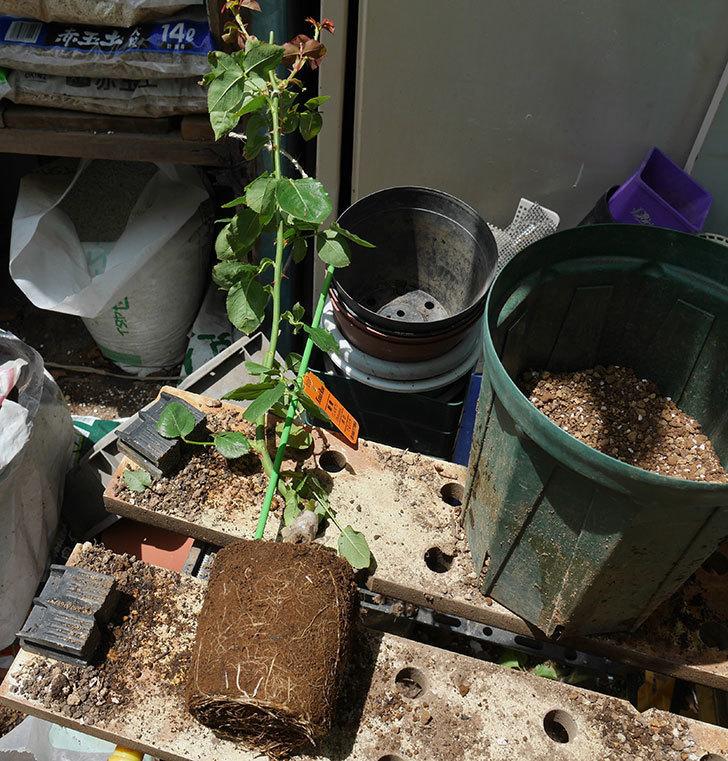 新雪(ツルバラ)の新苗を6号ロングスリット鉢に植え替えた。2019年-1.jpg