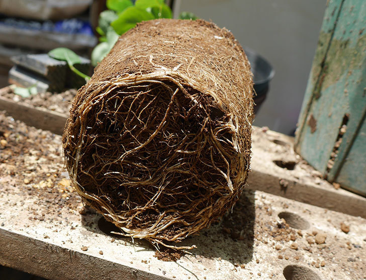 新雪(ツルバラ)の新苗を6号ロングスリット鉢に植え替えた。2019年-2.jpg
