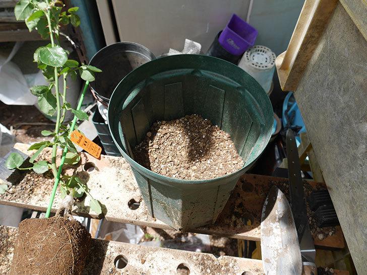 新雪(ツルバラ)の新苗を6号ロングスリット鉢に植え替えた。2019年-4.jpg