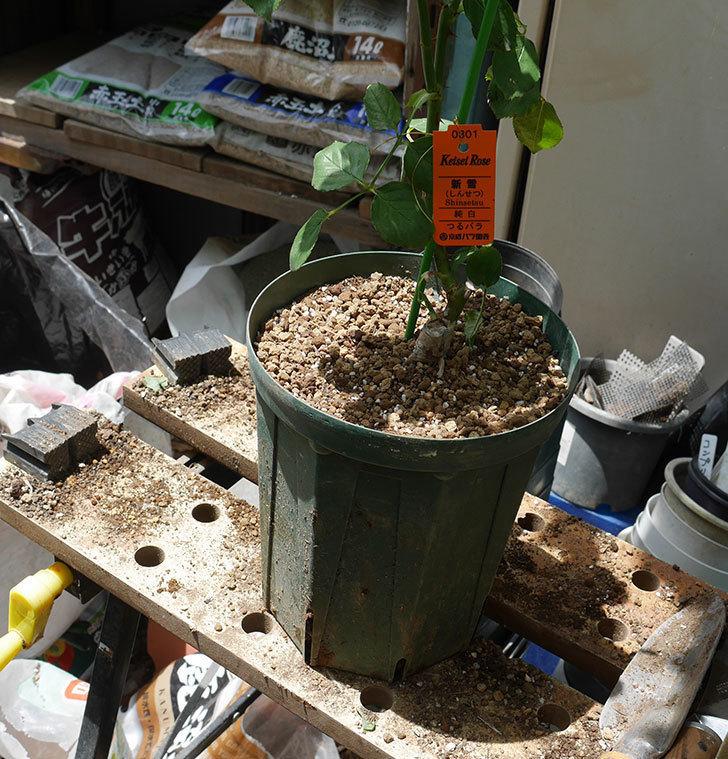 新雪(ツルバラ)の新苗を6号ロングスリット鉢に植え替えた。2019年-5.jpg