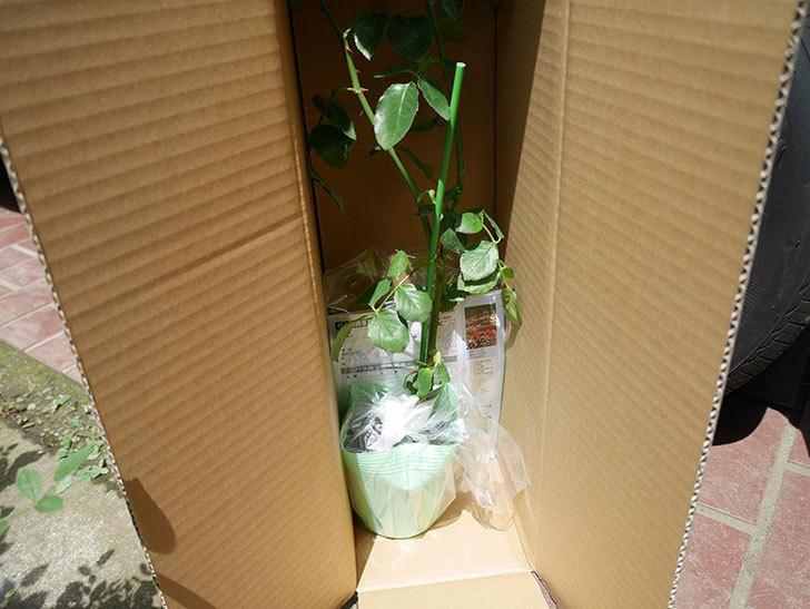 新雪(ツルバラ)の新苗を京成バラ園芸ネット通販で買った。2019年-3.jpg