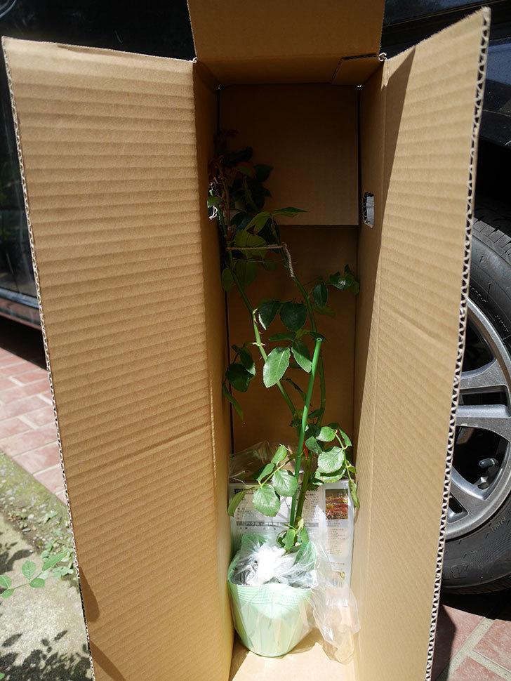 新雪(ツルバラ)の新苗を京成バラ園芸ネット通販で買った。2019年-4.jpg