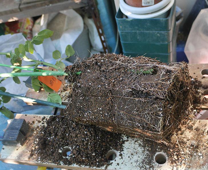 新雪(ツルバラ)の新苗をEUスリット鉢-EU-24L(8号深鉢)に鉢増しした。2019年-1.jpg