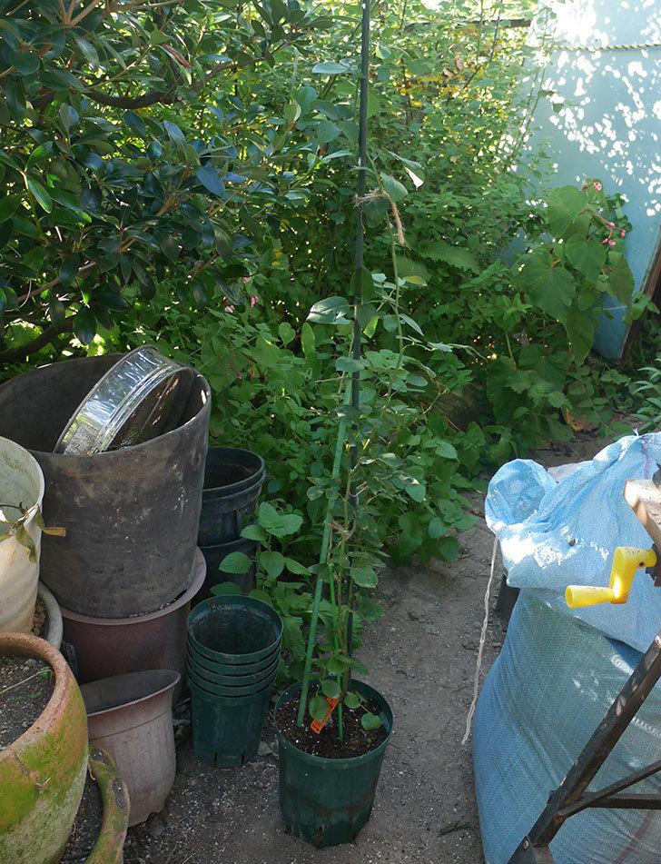 新雪(ツルバラ)の新苗をEUスリット鉢-EU-24L(8号深鉢)に鉢増しした。2019年-3.jpg