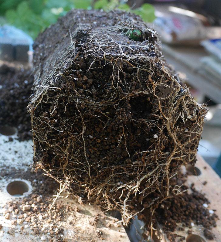 新雪(ツルバラ)の新苗をEUスリット鉢-EU-24L(8号深鉢)に鉢増しした。2019年-5.jpg