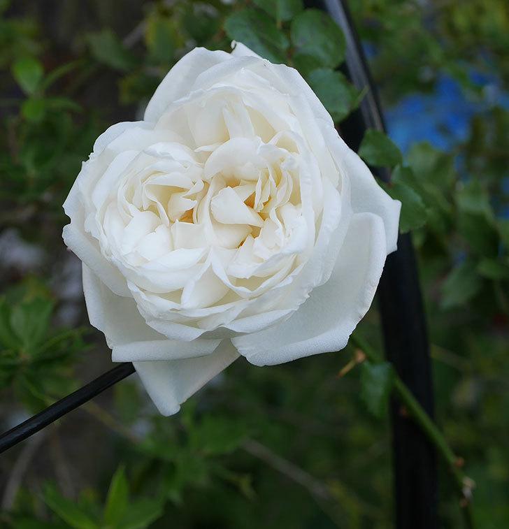 新雪(ツルバラ)の花が咲いた。2020年-1.jpg