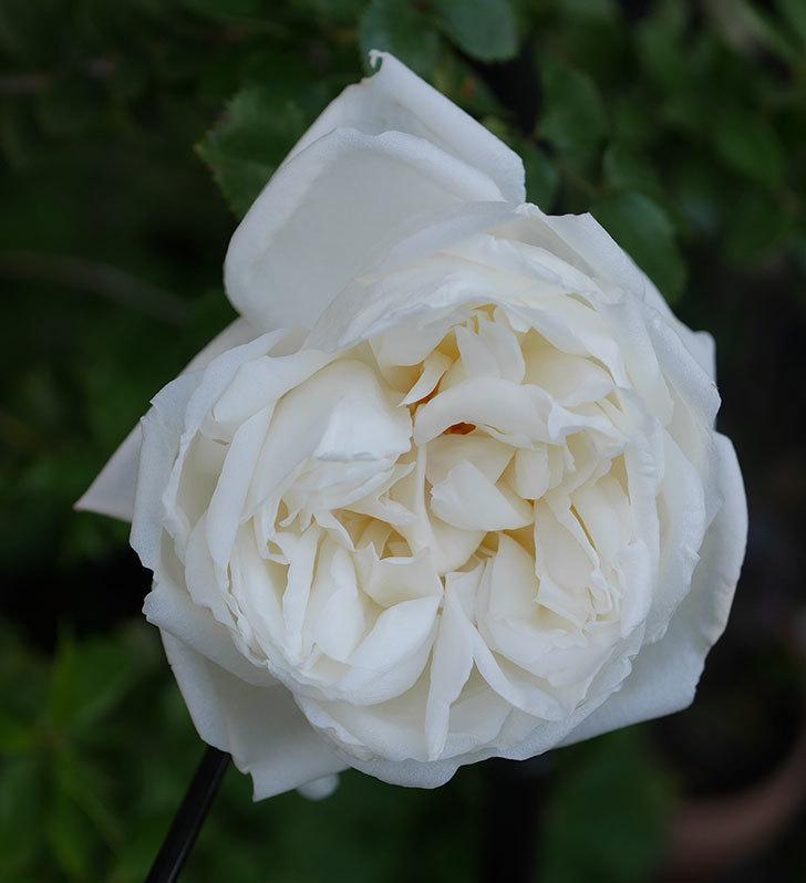 新雪(ツルバラ)の花が咲いた。2020年-2.jpg