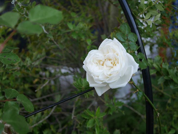 新雪(ツルバラ)の花が咲いた。2020年-3.jpg
