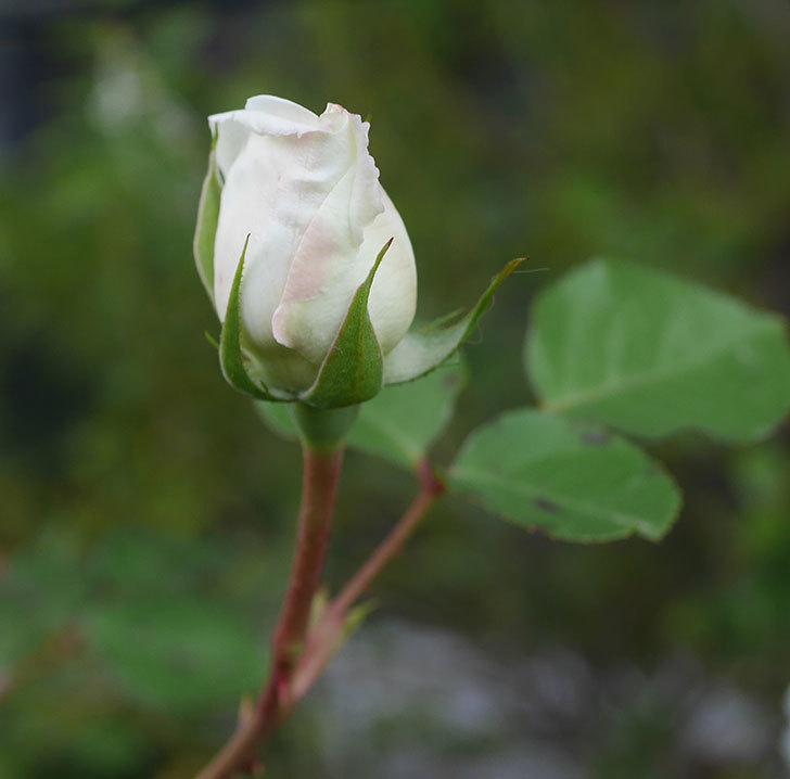 新雪(ツルバラ)の花が咲いた。2020年-4.jpg