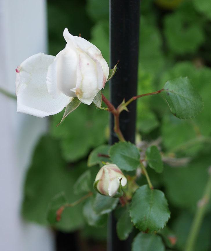 新雪(ツルバラ)の花が咲いた。2020年-5.jpg