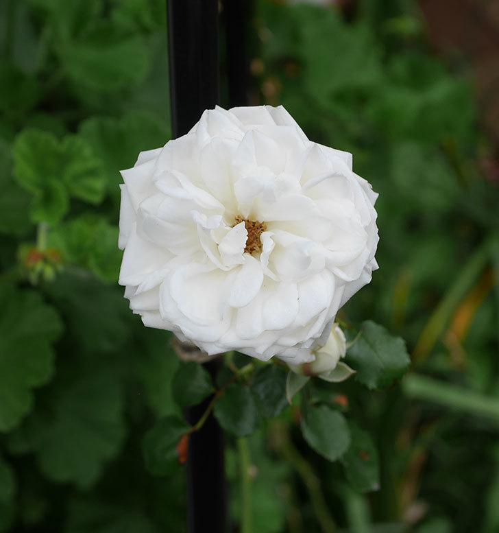 新雪(ツルバラ)の花が増えてきた。2020年-3.jpg