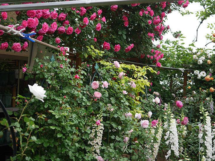 新雪(ツルバラ)の花が増えてきた。2020年-5.jpg
