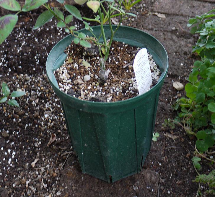 春に買ったムタビリス(木立バラ)の新苗を地植えした。2016年-10.jpg
