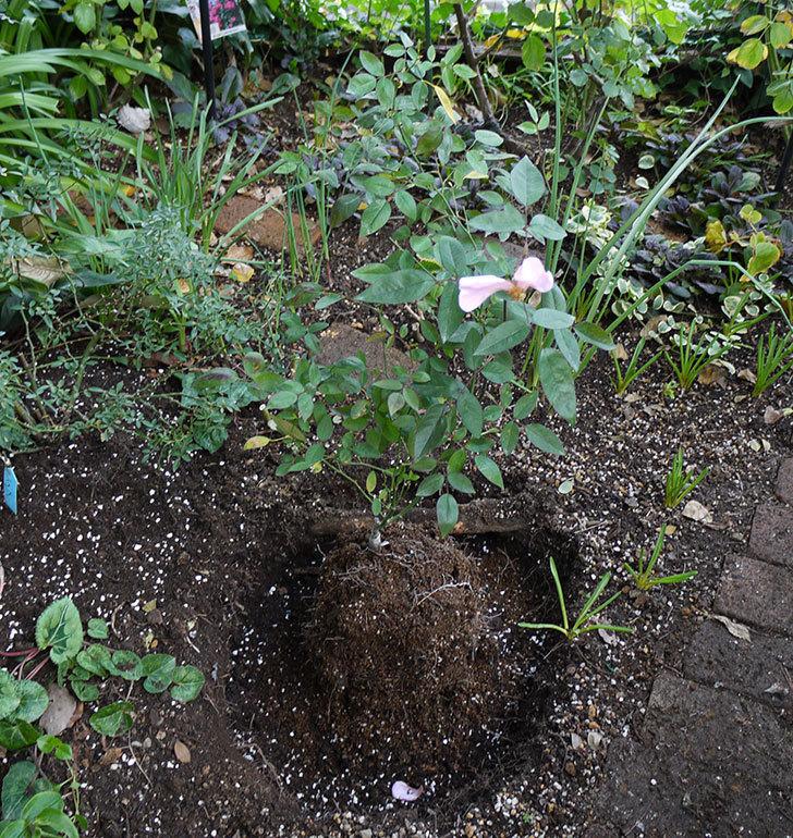春に買ったムタビリス(木立バラ)の新苗を地植えした。2016年-13.jpg